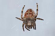 Krosskönguló (Araneus diadematus)