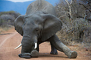 African Elephant (Loxodonta africana) 'death kneel' preamble to serious charge<br /> , <br />  Province<br /> SOUTH AFRICA<br /> RANGE: Throughout sub-Saharan Africa