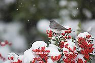 01569-01711Dark-eyed Junco (Junco hyemlis) in Scarlet Firethorn bush (Pyracantha coccinea) in winter, Marion Co., IL