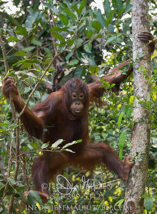 A young Bornean orangutan hangs from a tree in the forests of Tanjug Putin National Park in Indonesia.