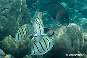 juvenile convict tangs, convict surgeonfish, or manini, Acanthurus triostegus, being cleaned by endemic Hawaiian cleaner wrasse, Labroides phthirophagus, Kahaluu Beach Park, Keauhou, Kona, Hawaii ( Central Pacific Ocean )