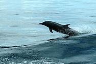 Los delfínidos (Delphinidae), llamados normalmente delfines oceánicos (a diferencia de los platanistoideos o delfines de río) son una familia de cetáceos odontocetos bastante heterogénea, que abarca unas 34 especies.<br /> Están entre las especies más inteligentes que habitan el planeta. <br /> Se encuentran relativamente cerca de las costas y a menudo interactúan con el ser humano.<br /> Como otros cetáceos, los delfines utilizan los sonidos, la danza y el salto para comunicarse, orientarse y alcanzar sus presas; además utilizan la ecolocalización. Hoy en día, las principales amenazas a las que están expuestos son de naturaleza antrópica. Además muchas especies han sido cazadas a lo largo de la historia por su carne, huesos y grasa. A pesar de que la caza comercial de ballenas fue prohibida en 1986, los cazadores furtivos siguen cazando muchos delfines. <br /> También son amenazados por las redes de pesca, la contaminación y otras situaciones y condiciones que pueden ser controladas por los seres humanos.<br /> <br /> Se encuentran alrededor del mundo en las aguas templadas y tropicales, estando ausentes solo a partir de 45 grados de los polos en cualquier hemisferio.<br /> <br /> En el Océano Pacífico, los delfines se encuentran desde el norte de Japón hasta Australia y del Sur de California hasta Chile.<br /> <br /> ©Alejandro Balaguer/Fundación Albatros Media.
