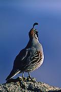 Ganbel's Quail calling during mating season - California.
