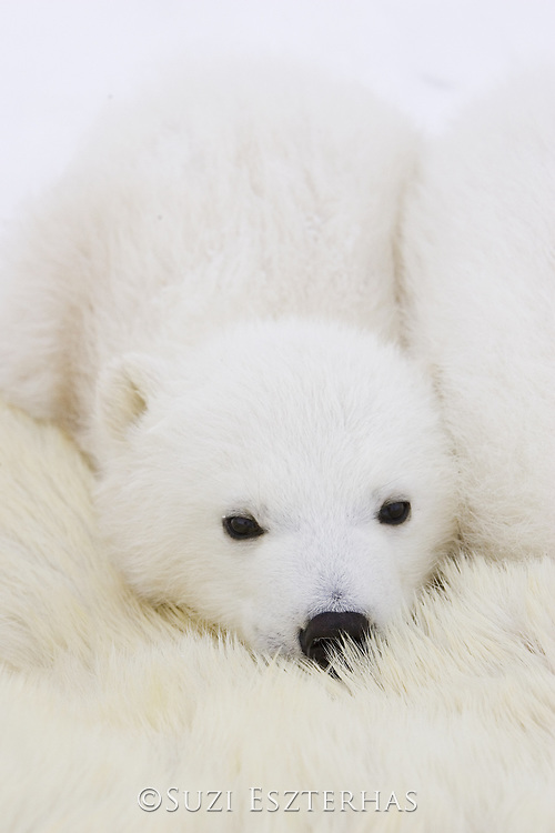 Polar Bear<br /> Ursus maritimus<br /> 3-4 month old cub(s) cuddling against mother's body while mother is anesthetized by polar bear biologists<br /> Wapusk National Park, Canada