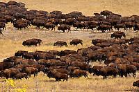 44th annual Buffalo roundup, Custer State Park, Black Hills, South Dakota USA
