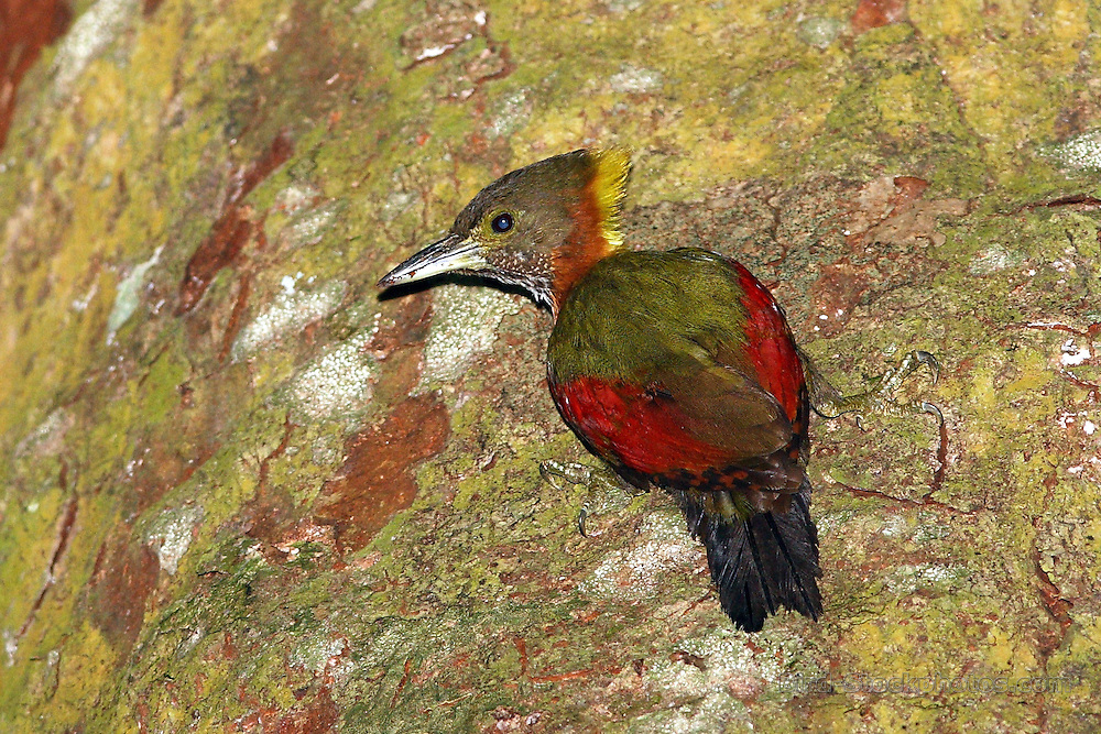 Checker-throated Woodpecker, Chrysophlegma mentale, Ampang, Kuala Lumpur, Malaysia, by Markus Lilje