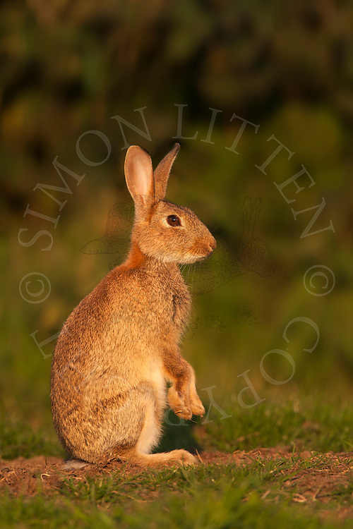 European Rabbit (Oryctolagus cuniculus) adult, sitting upright on grazing marsh, Norfolk, Uk.