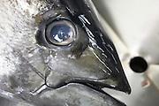 Processing yellow fin tuna at Cyprea Marine Foods EU-standard factory at Himmafushi, Republic of Maldives.