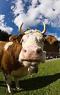 Portrait of a Swiss cow on a farm near Gstaad, Switzerland