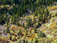 An autumn colored deciduous forest borders coniferous forest on a mountainside on Bureau of Land Management public land in the East Salt Creek valley, Colorado, USA