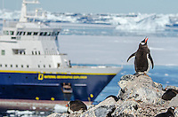 Gentoo penguin calling in from of the National Geographic Explorer anchored at Booth Island at Port Charcot in Antarctica.