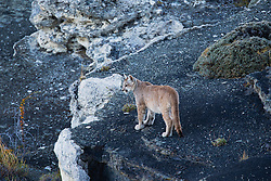 A puma cub (Puma con color) also known as a mountain lion or cougar,  standing on the edge of a stromolite rock, Torres del Paine, Chile, South America