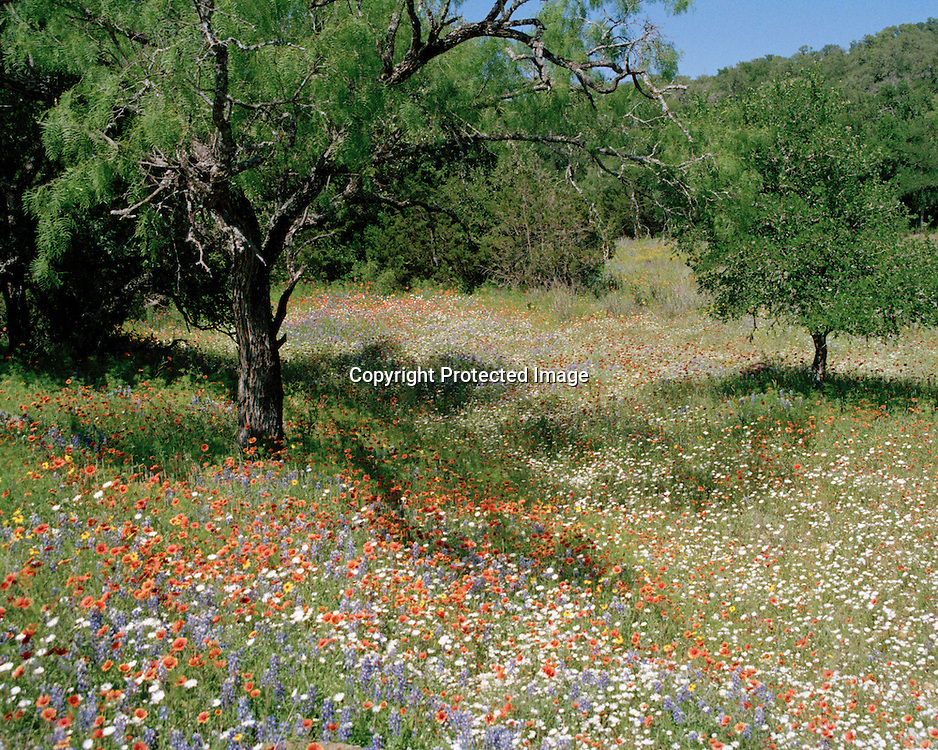 "A meadow with a mixed palate of wildflowers winds through the trees in the Texas Hill Country. NOTE: Click ""Shopping Cart"" icon for available sizes and prices. If a ""Purchase this image"" screen opens, click arrow on it. Doing so does not constitute making a purchase. To purchase, additional steps are required."
