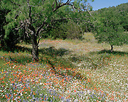 """A meadow with a mixed palate of wildflowers winds through the trees in the Texas Hill Country. NOTE: Click """"Shopping Cart"""" icon for available sizes and prices. If a """"Purchase this image"""" screen opens, click arrow on it. Doing so does not constitute making a purchase. To purchase, additional steps are required."""