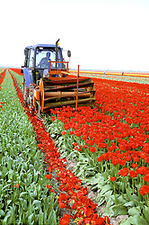 Holland:  When the tulip crop is at the peak of bloom, a harvester chops off the flowers to force nutrients down into the bulbs.  The sale of tulip bulbs underlies the economy of the Lisse region.