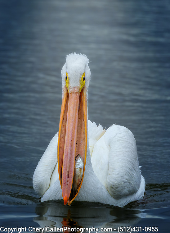American White Pelican with fish in his mouth, fish looking at you