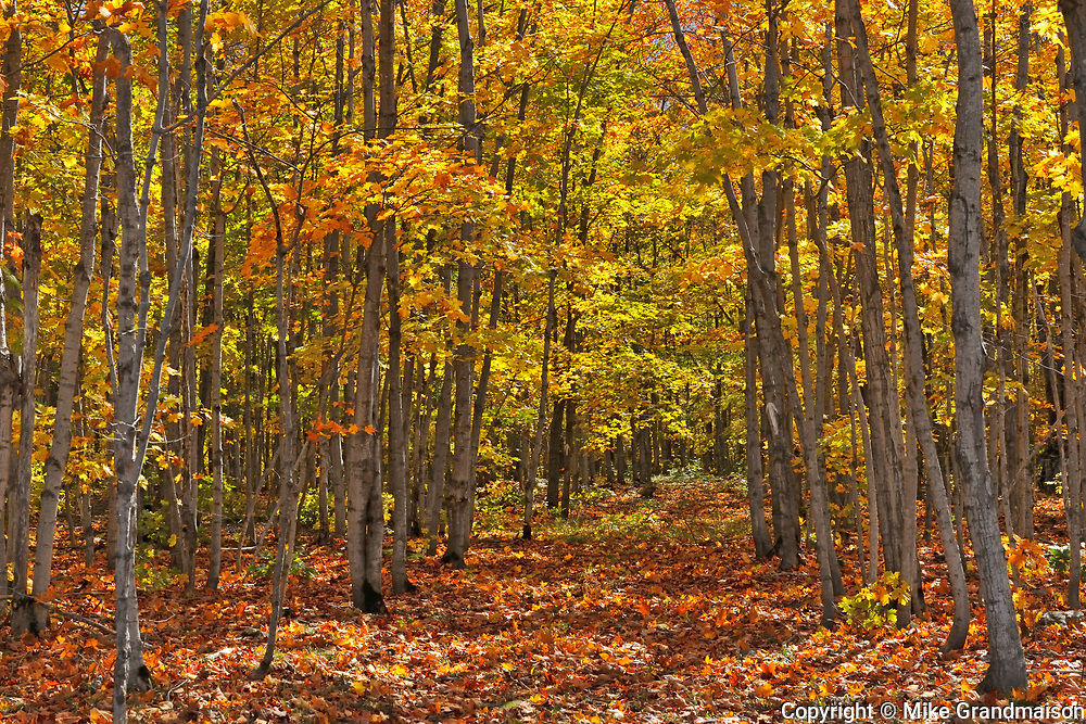 Deciduous forest of sugar maple trees (Acer saccharum) in Autumn foliage, Manitoulin Island, Ontario, Canada