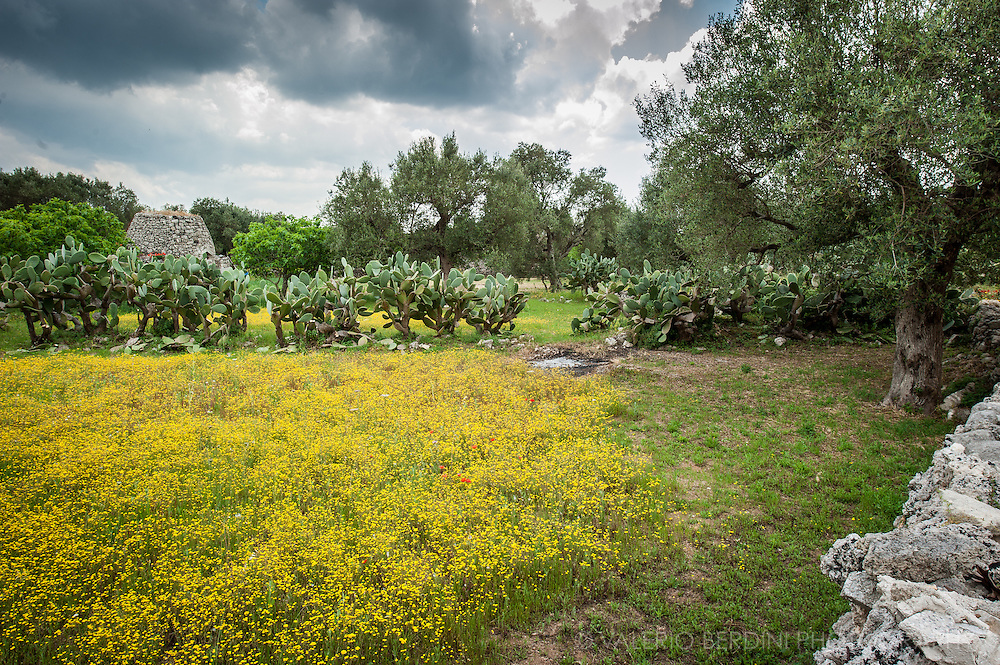 Secular Olive Trees in Salento have been grown for centuries an are a key part of the agricolture of Apulia (Puglia).