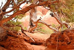 Juniper, Arches National Park, Utah, USA