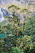 A lichen-covered beech tree grows tall on Lake Mackenzie in Fiordland National Park, along the Routeburn Track, in the Southern Alps, South Island, New Zealand. In 1990, UNESCO honored Te Wahipounamu – South West New Zealand as a World Heritage Area.