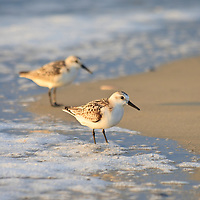 A pair of sanderlings (Caladris alba) stand in the surf just after sunrise, Chincoteague National Wildlife Refuge, Assateague Island, Virginia.