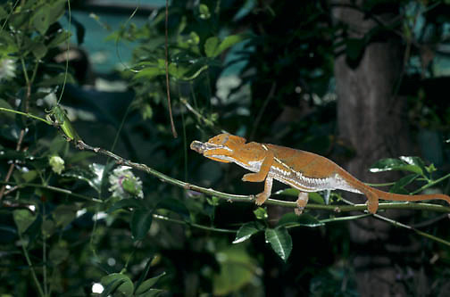 Chameleon (Furcifer pardalis) feeding on an insect in Madagascar.