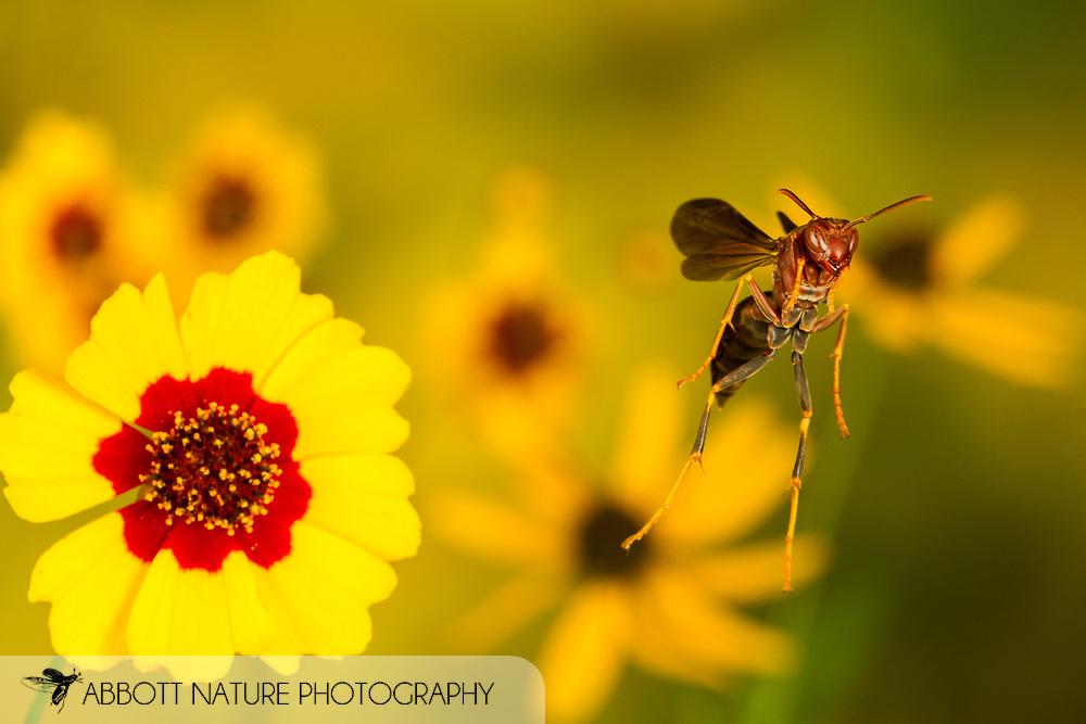 Paper Wasp (Polistes metricus) flying<br /> United States: Alabama: Tuscaloosa Co.<br /> Tulip Tree Springs off Echola Rd.; Elrod<br /> 5-Sep-2016<br /> J.C. Abbott #2864 &amp; K.K. Abbott