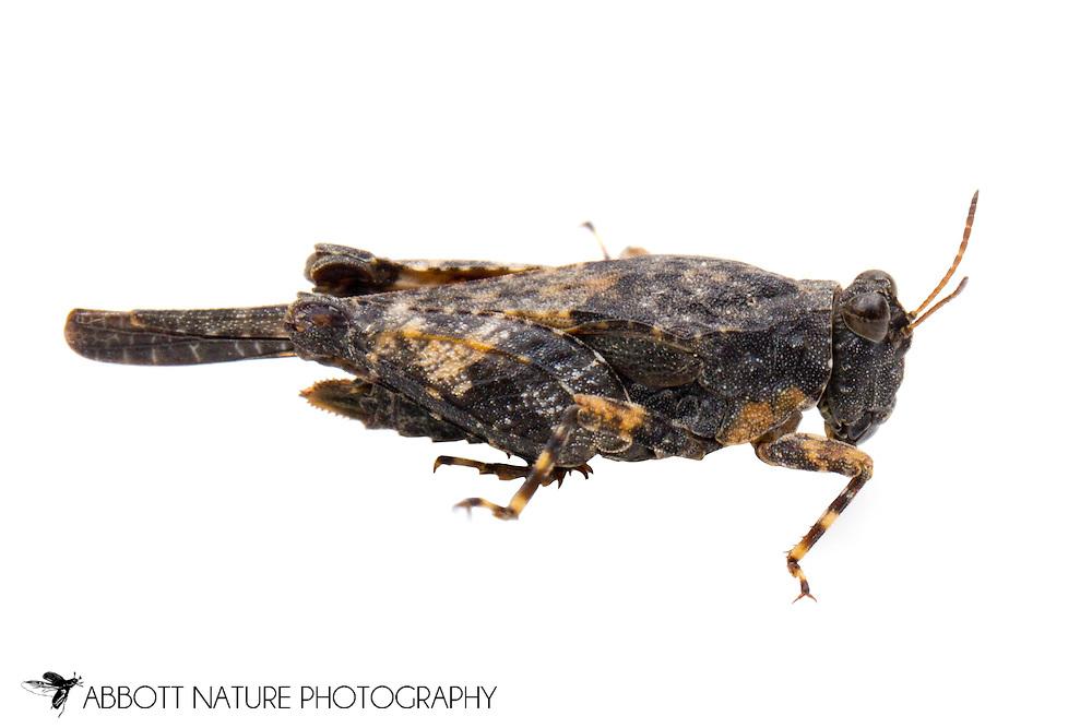 Ornate Pygmy Grasshopper (Tetrix ornata)<br /> OREGON: Wheeler Co.<br /> John Day River, roadside pullout along Oregon Hwy 19, 7 mi N of Spray, Oregon<br /> 20.June.2012  44.8150, -119.8971  1730 ft elev<br /> J.C. Abbott #2610 &amp; K.K. Abbott