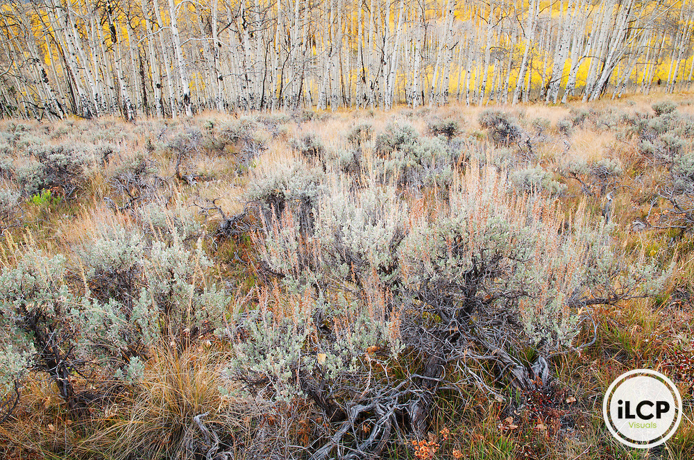 The sagebrush and aspen interface is biologically rich and typical in the sagebrush ecosystem above 7,000 feet. Gunnison National Forest, CO