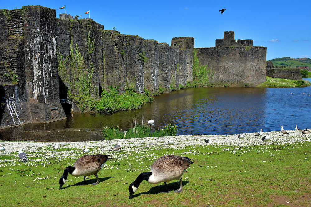 Geese Feeding at Caerphilly Castle in Caerphilly, Wales <br /> It may seem unlikely to find Canada geese in Wales.  However, since their introduction in the 17th century, they have become the most common goose species.  Locally, they are called gwydd Canada. In Gaelic, their name is G&egrave;adh-dubh. This pair was feeding along the Outer East Moat of Caerphilly Castle.  Since this medieval stronghold was built in 1271, it has been the largest castle in Wales.