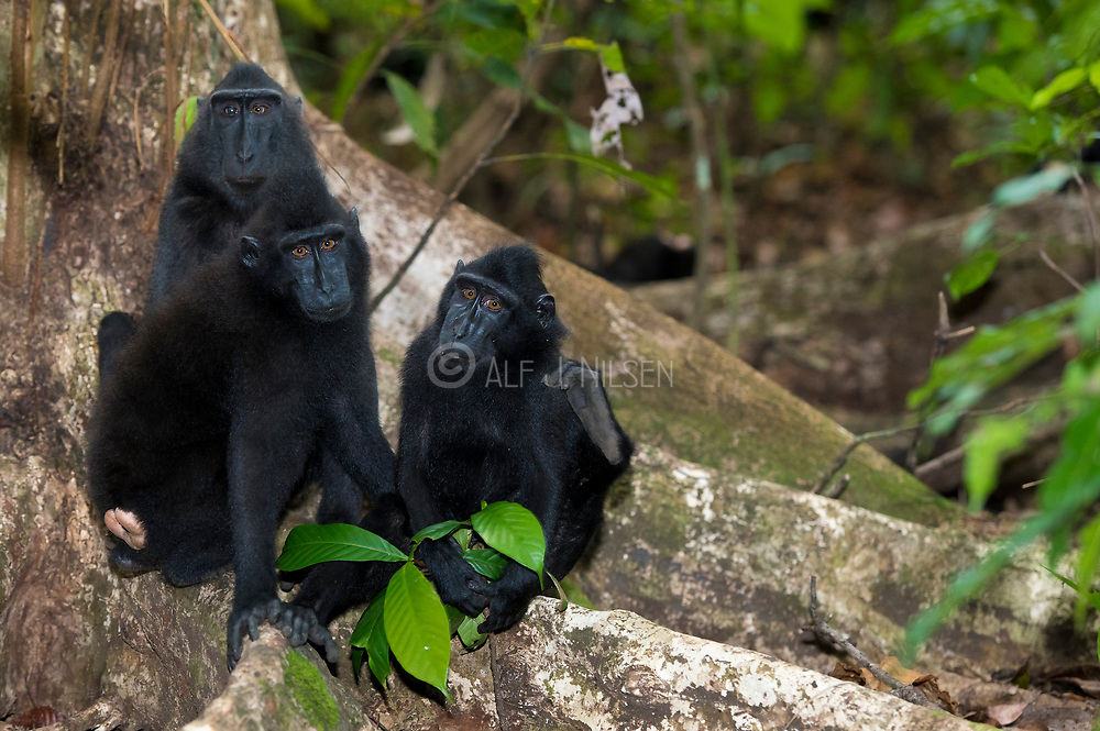 Crested Black Macaques (Macaca nigra)  in Tangkoko Nature Reserve, northern Sulawesi, Indonesia.