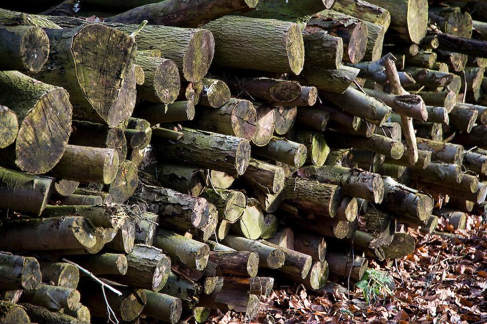 Nederland, Bunnik, 25 jan 2009. landgoed Nieuw Amelisweerd, boomstammetjes in het bos.Foto (c) Michiel Wijnbergh