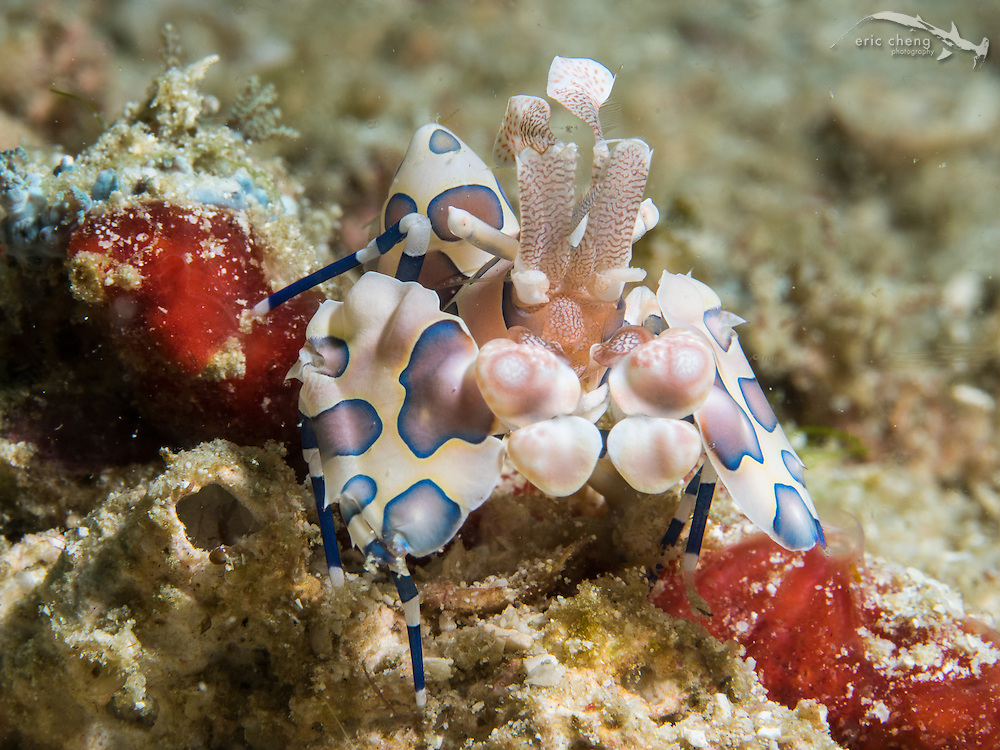 Harlequin shrimp (Hymenocera elegans). Wainilu, Rinca, Komodo National Park, Indonesia.