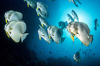 Spadefish cruise in the current under a bright sun<br /> <br /> Shot in Raja Ampat Marine Protected Area West Papua Province, Indonesia