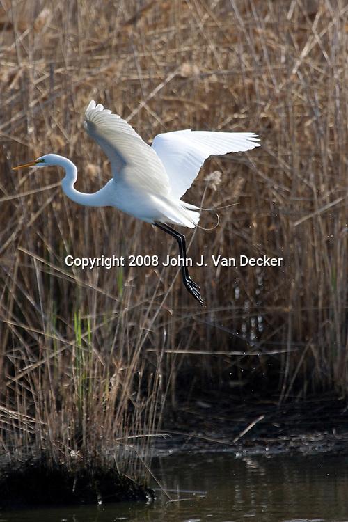 Great Egret, Ardea alba, taking off from a salt marsh