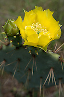 Prickly Pear, Travis County