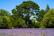 Lavender crop, Lavandula, purple flowering plants growing at Jersey Lavender farm in St Brelade, Jersey, Channel Isles