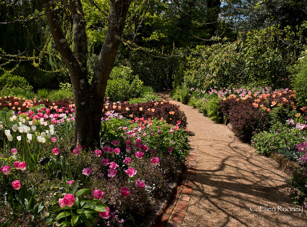 A bed of tulips including Tulipa 'Survivor, a rose pink tulip and Tulipa 'Maureen', a white May flowering tulip at Pashley Manor Gardens, Ticehurst, East Sussex, UK