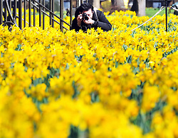 © Licensed to London News Pictures. 09/03/2017<br /> Daffodils in front of the National Maritime Museum, Greenwich.<br /> Sunny spring weather at Greenwich Park, Greenwich, London.<br /> Photo credit :Grant Falvey/LNP