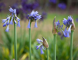 Agapanthus 'Sky'. African lily