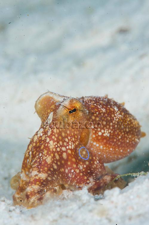 Ocellated octopus, Octopus mototi, Mabul, Sabah, Malaysia, Borneo.