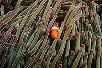 Raja Ampat Indonesia Pacific Ocean false clown anemonefish (Amphiprion ocellaris) hiding in magnificent sea anemone (Heteractis magnifica)