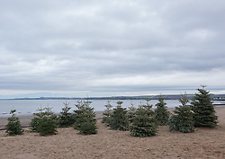 In a community tradition that stretches back at least fifteen years discarded Christmas Trees in Portobello have been moving to the beach. The beach forest will be burned in a bonfire later today.<br /> <br /> <br /> © Jon Davey/ EEm