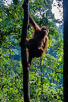 Indonesia, Sumatra. Bukit Lawang. Gunung Leuser National Park. The orangutan sanctuary of Bukit Lawang is located inside the park.
