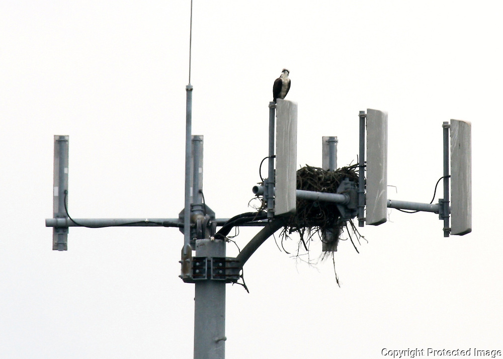 Osprey and nest on top of a cell phone tower on Jekyll Island.