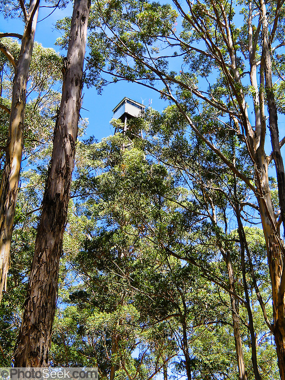 Rebar rungs allow anyone to climb the public Diamond Tree, a 51-meter tall Karri (Eucalyptus diversicolor) mounted with a fire lookout. Drive 10 km south of Manjimup on the South Western Highway, in Western Australia. Growing up to 90 meters, Karri trees stand amongst the tallest species in the world.