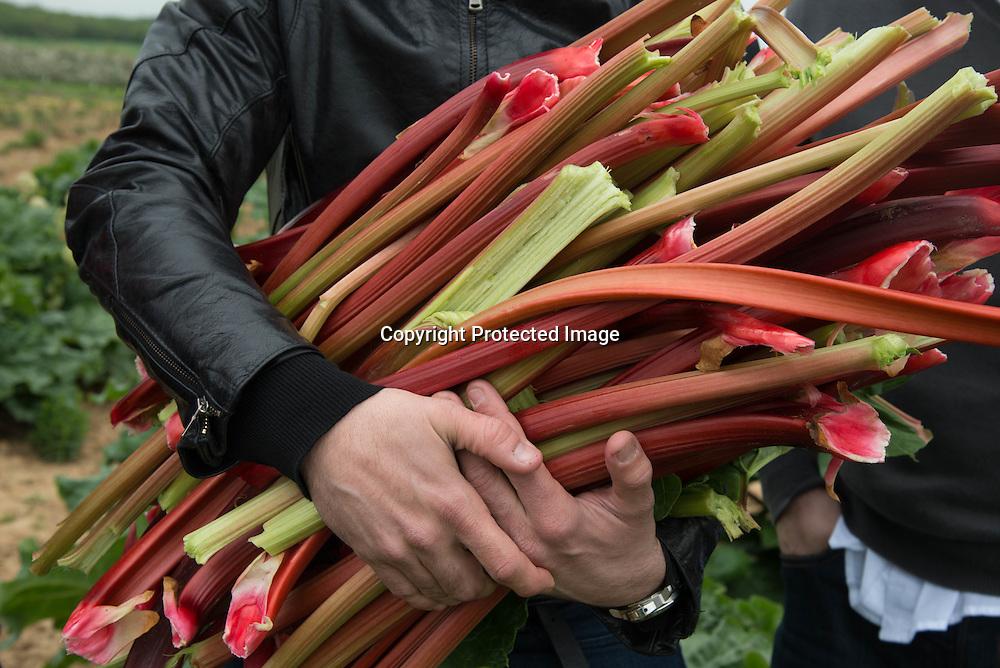 France Jumeauville. la ferme du logis . Rhubarb