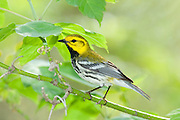 Black-throated Green Warbler, Setophaga virens, male, Magee Marsh, Ohio