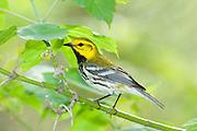 Black-throated Green Warbler, Setophagavirens, male, Magee Marsh, Ohio