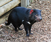 "A captive Tasmanian devil stands in a pen at Bonorong Wildlife Park, Briggs Road, Brighton, Tasmania, Australia. The Tasmanian devil (Sarcophilus harrisii) is a carnivorous marsupial of the family Dasyuridae, now found in the wild only on the island state of Tasmania. The devil is an iconic symbol of Tasmania and attractor of tourists, many of whom know the Looney Tunes cartoon character, the ""Tasmanian Devil."" Ancient marsupials probably migrated from what is now South America to Australia tens of millions of years ago during the time of Gondwana. Tasmanian devils probably disappeared from the Australian mainland around 3000 years ago due to predation by dingoes (wild dogs probably introduced by aborigines much earlier), which are absent on Tasmania. Formerly hunted by humans, the devils became officially protected in 1941. Since the late 1990s, devil facial tumor disease has drastically reduced devil numbers, and in 2008 the species was declared endangered. Illegally introduced red foxes kill devils, and motor vehicles dispatch devils that are on the road eating other road kill. Due to export restrictions and the failure of overseas devils to breed, almost no devils live legally outside of Australia. The size of a small dog, the Tasmanian devil became the largest carnivorous marsupial in the world following the extinction of the thylacine in 1936. It has a stocky and muscular build, black fur, pungent odor, extremely loud and disturbing screech, keen sense of smell, and ferocity when feeding. It has an exceptionally strong bite, hunts prey, scavenges carrion, climbs trees, and swims across rivers."